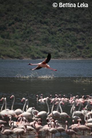 [:en]Flamingos at Lake Bogoria[:]